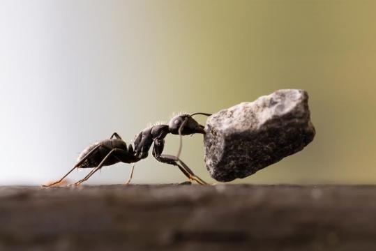 Ufficializzata la scoperta della formica kamikaze su un'isola nel sud-est asiatico: il Borneo