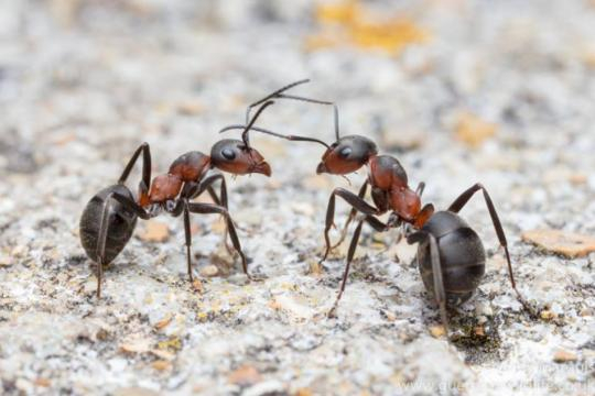 Ufficializzata la scoperta della formica kamikaze