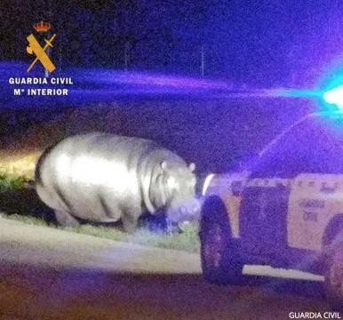 El hipopótamo fugado la semana pasada y la patrulla de la guardia civil que tuvo que intervenir para devolverlo al circo. (Guardia Civil)