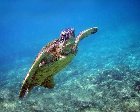 A green turtle (Image credit – Wise Hok Wai Lum, Wikimedia Commons)