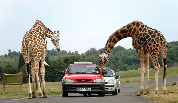 File:Giraffes at west midlands safari park.jpg - Wikimedia Commons - wikimedia.org