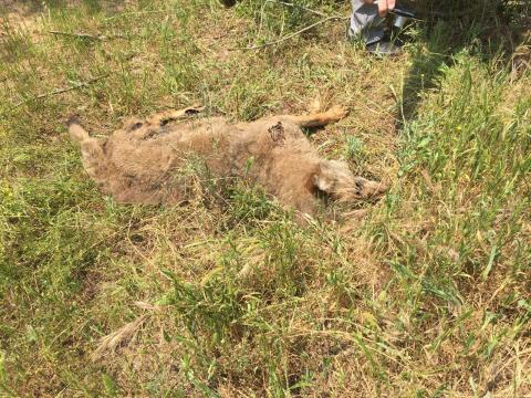 Il lupo ritrovato nella zona Fontanelle.