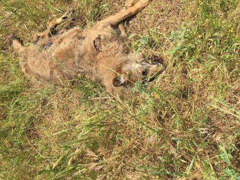 Il lupo trovato morto nel Salento.