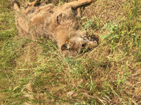 Il lupo trovato nella zona di Otranto.