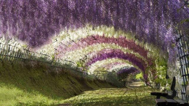 Wisteria Tunnel, no Japão, é um dos lugares mais admiráveis e belos do mundo.