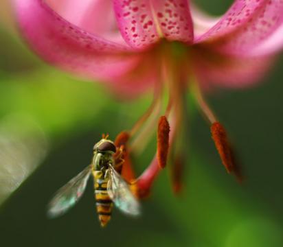 Pollination in progress (Image credit – Bartosz Cuber, Wikimedia Commons)