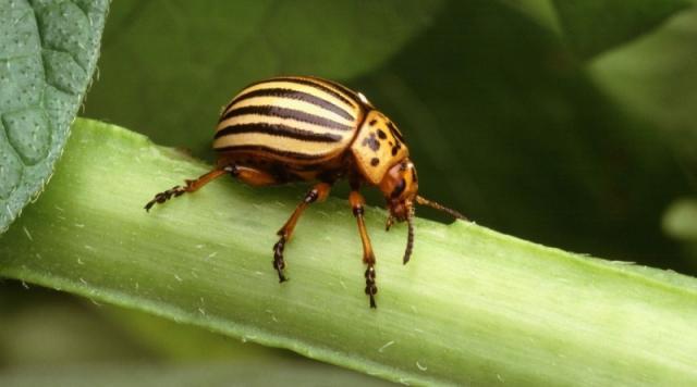 Scydosella musawasensis, el animal más pequeño del mundo