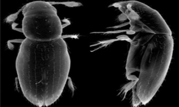 Scydosella musawasensis, el insecto más pequeño del mundo