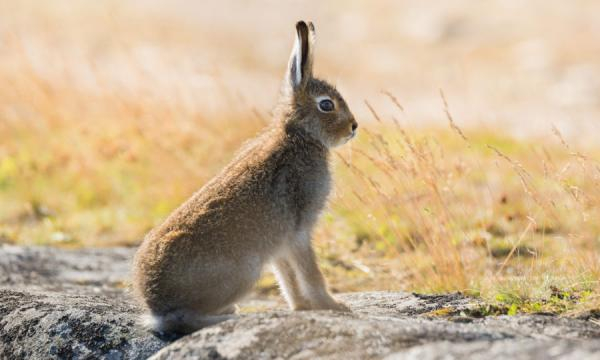 Animal charity renews calls for end to mountain hare culls on the ... - sundaypost.com