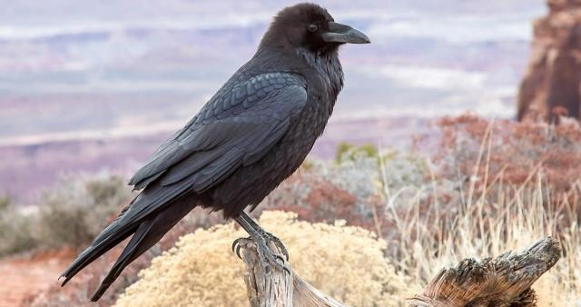 Among other birds Ravens are affected by the fires ... image - allaboutbirds.org