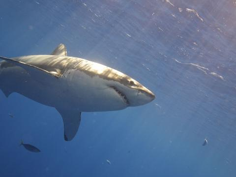 Image of a great white shark in the water. [Image courtesy – Elias Levy, Wikimedia Commons]