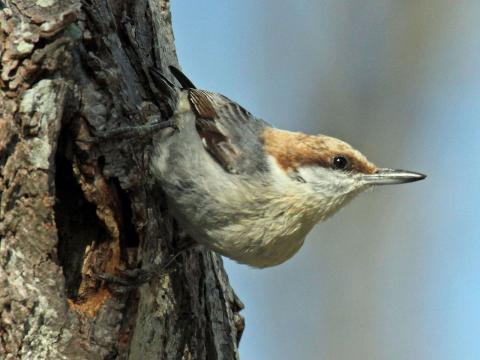 A brown-headed nuthatch. [Image courtesy – DickDaniels, Wikimedia Commons]
