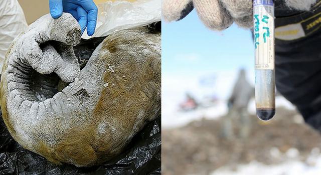 Entre os materiais genéticos colhidos pelos cientistas, estão desde trombas bem preservadas a até mesmo sangue de mamutes