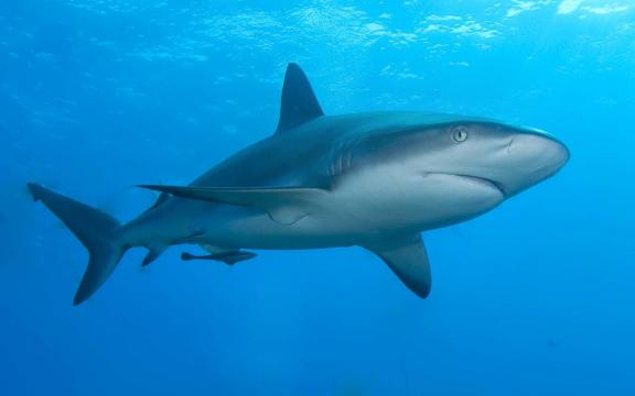 A Caribbean reef shark swimming in the water. [Image credit – Albert kok, Wikimedia Commons]