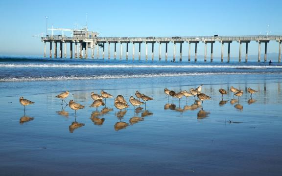 Marbled Godwits in front of Scripps Pier on La Jolla Shores, California. [Image courtesy – Mkeipper, Wikimedia Commons]