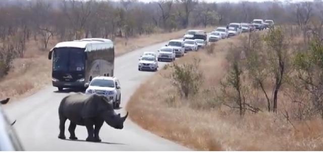 Rhino Cause Mega Kruger National Park Roadblock. [Image courtesy – Kruger National Park videos, YouTube]