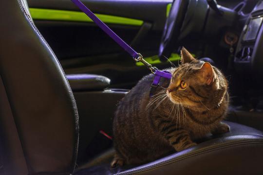 Mon chat est malade en voiture. Que faire ? - Mal des transports ... - doctissimo.fr