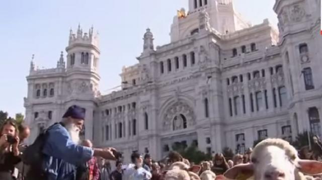 2,000 sheep herded through Madrid to celebrate old grazing routes. [Image source/AP Archives YouTube video]