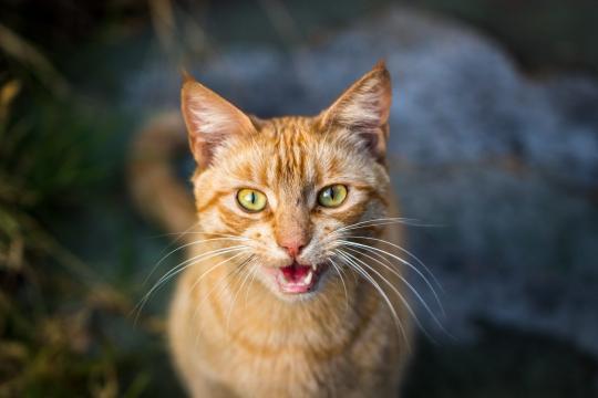 Le miaulement - pourquoi mon chat miaule ? - FélinsFolies - felinsfolies.com