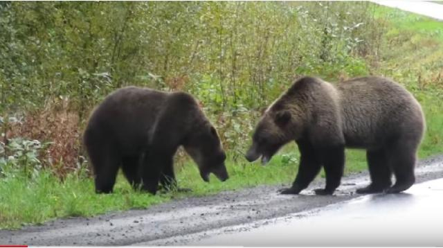 Epic grizzly bear fight! [Image source/Cari YouTube video]