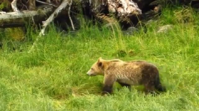 Grizzly Bears of Knight Inlet #1. [Image source/Woodfibrebirder YouTube video]