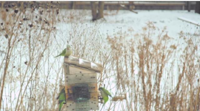 Monk Parakeet Invasion. [Image source/Paul Deuth YouTube video]