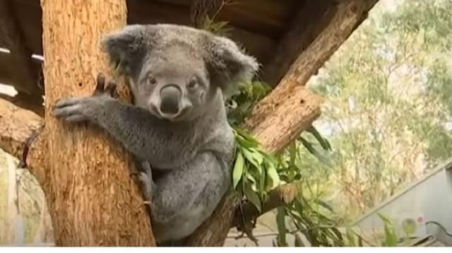 Hundreds of koalas perish in Australian bushfire. [Image source/CGTN YouTube video]