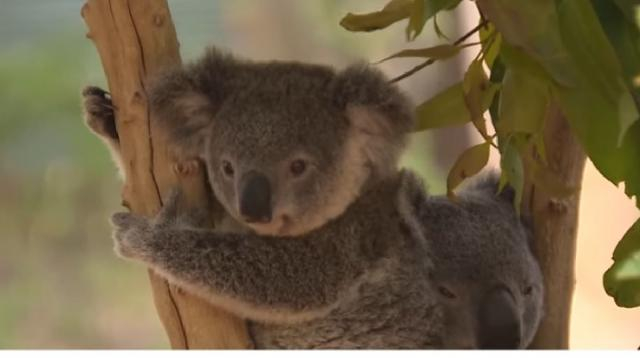 Up to 30% of NSW koalas may have died in fires. [Image source/Newsy YouTube video]