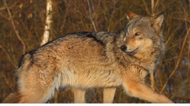 Chernobyl Exclusion Zone teems with animals. [Image source/GeoBeats News YouTube video]