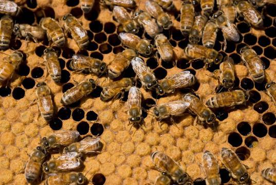 European honeybees Apis mellifera in a hive. [Image source/Nick Pitsas CSIRO, Wikimedia commons]