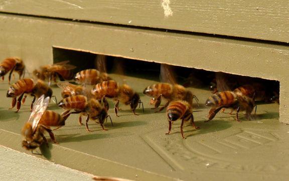 Honeybees-27527-1. [Image source/Ken Thomas, Wikimedia commons]