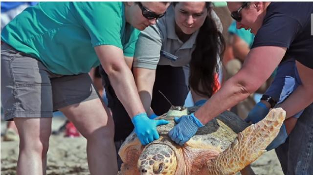 Sea turtles released to the wild off Cape Cod. [Image source/Boston Herald YouTube video]