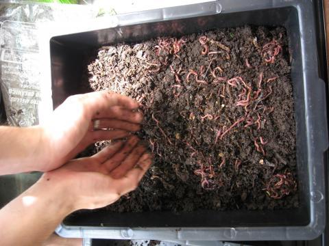 Minhoca na compostagem - (Banco de imagens Blasting News)
