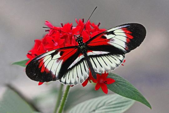 Piano Key butterfly in Coconut Creek, Florida. [Image source/Judy Gallagher, Wikimedia Commons]