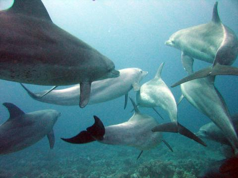 Dolphins gesture language. [Image source/Serguei S Dukachev, Wikimedia Commons]