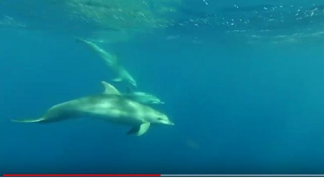 Dolphins in the Northeast Aegean Sea. [Image source/Kostis Mammassis YouTube video]