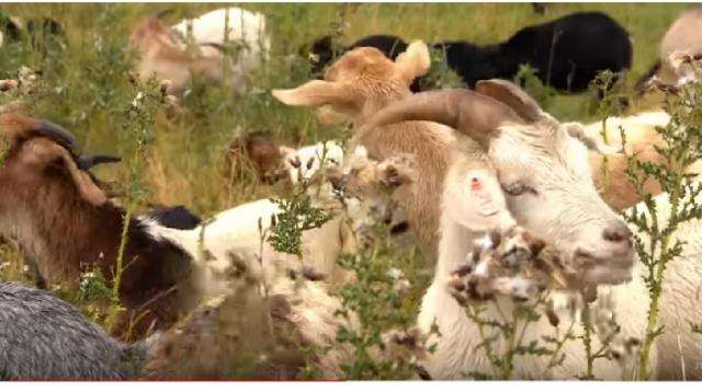 How goats helped Edmonton fix a weed problem. [Image source/CBS News: The National YouTube video]