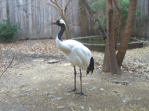 Red Crowned Crane. [Image source/Wikimedia Commons, Robin Chen]