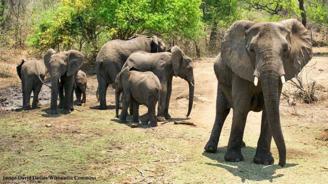 Elephant herd in Majete Wildlife Reserve in Malawi. [Image David Davies/Flickr]