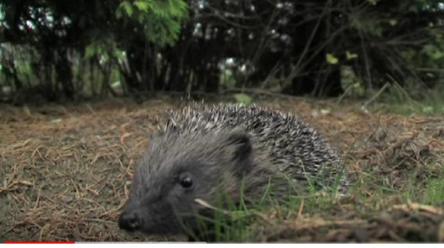 How to help hedgehogs in your garden. [Image source/ The Wildlife Garden Project YouTube video]