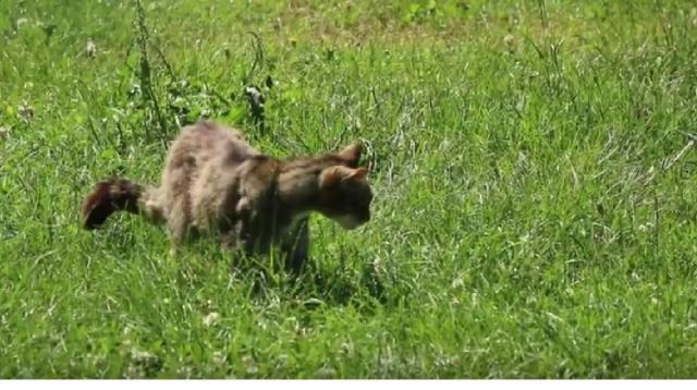 The British wildcat. [Image source/Nick lays east tilbury wildlife watch YouTube video]