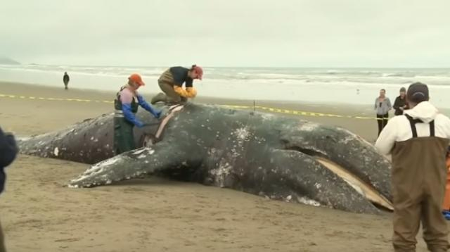 Grey Whale washed up at San Francisco's Ocean Beach likely struck by ship. [Image source/KPIX CBS SF Bay Area YouTube video]
