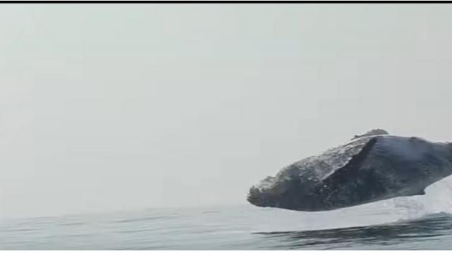40 Ton Humpback Whale Leaps Entirely Out of the Water! [Image source/Craig Capehart YouTube video]