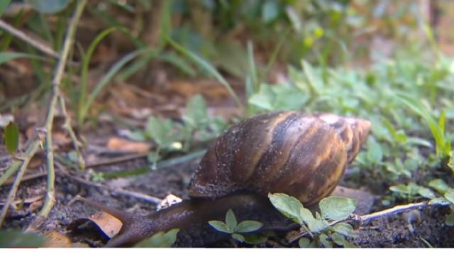 Why giant snails are a problem for Florida. [Image source/CNN YouTube video]