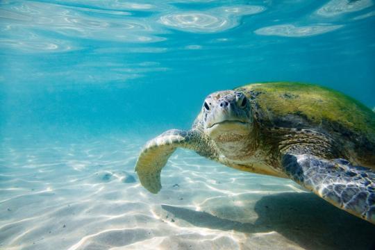 Maldive: una tartaruga verde cerca la spiaggia per deporre le uova. foto - ohga.it