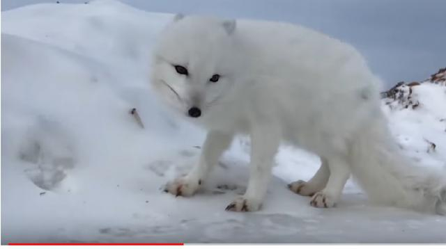 A friendly arctic fox greets explorers. [Image source/ National Geographic YouTube video]