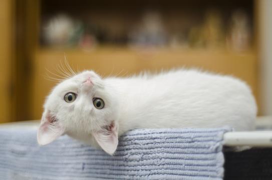 C'est prouvé : les chats reconnaissent leur nom quand on les ... - journaldugeek.com
