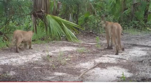 Endangered Florida panthers are struggling to walk, and wildlife officials don't know why. [Image source/CBS News YouTube video]