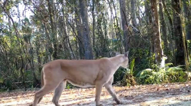 Florida panther in the wild. [Image source/Leslin Adventures YouTube video]