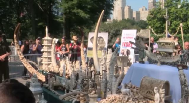 New York holds public demonstration, destroys more than 600 ivory products. [Image source/CGTN America YouTube video]